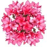 Roze bloemen Frangipani Stock Foto's