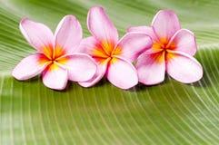 Roze bloemen Frangipani Royalty-vrije Stock Foto