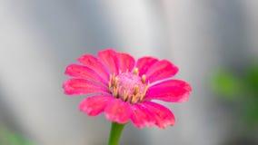 Roze bloemen, gele stamens Stock Afbeeldingen