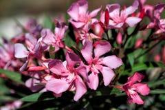Roze bloemen in Griekenland Stock Afbeelding
