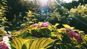 Roze bloemen in het tuinzonlicht stock video