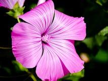 Roze bloemen in huistuin Royalty-vrije Stock Foto's