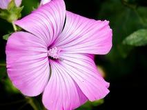 Roze bloemen in huistuin Stock Foto's