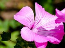 Roze bloemen in huistuin Stock Fotografie