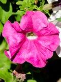 Roze bloemen in huistuin Stock Foto