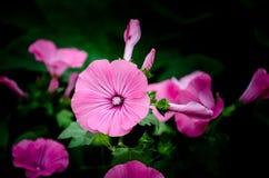 Roze bloemen in huistuin Royalty-vrije Stock Afbeelding