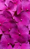 Roze bloemen (Hydrangea hortensia) close-up Stock Afbeelding