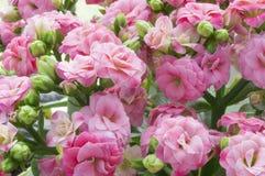 Roze bloemen Kalanchoe Stock Fotografie
