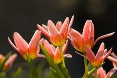 Roze bloemen macroachtergrond Stock Afbeelding