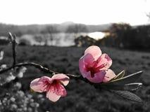 Roze bloemen met donkere achtergrond royalty-vrije stock afbeeldingen
