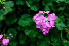 Roze bloemen met groene bladeren voor achtergrond Stock Foto's
