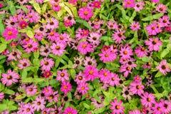 Roze bloemen met groene bladeren voor achtergrond Royalty-vrije Stock Afbeelding