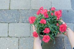 Roze bloemen met vrouwelijke handen met steen als achtergrond Royalty-vrije Stock Afbeeldingen