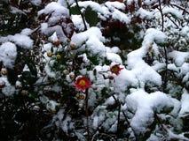Roze bloemen onder eerste sneeuw Stock Foto's