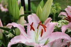Roze bloemen, Oosterse Lelie Royalty-vrije Stock Afbeelding