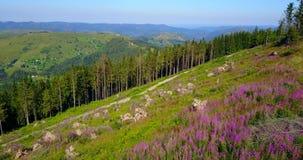 Roze bloemen op de bergen Hommelvlucht stock video