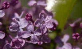 Roze bloemen op de bijna gebloeide takken stock foto