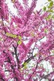 Roze bloemen op de boom Stock Afbeelding