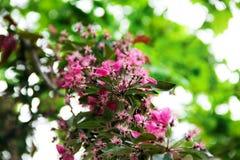 Roze bloemen op de kersenboom Royalty-vrije Stock Foto