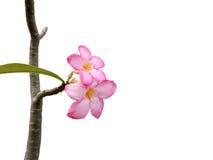Roze bloemen op de takken op geïsoleerde achtergrond Stock Foto