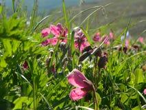Roze bloemen op de weide van Kamchatka Stock Fotografie