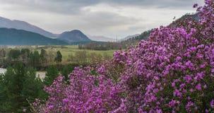 Roze bloemen op een achtergrond van bergen, rivier en een vallei onder een bewolkte hemel Het bloeien van Rododendronledebourii stock footage