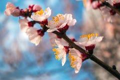 Roze bloemen op een blauw close-up als achtergrond De bomen van de de lentebloei Royalty-vrije Stock Afbeelding