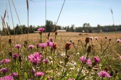 Roze bloemen op een gebied stock afbeelding
