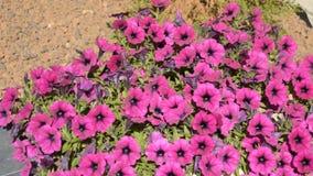 Roze Bloemen op Groot Bush stock video