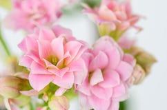Roze bloemen op witte achtergrond, Kalanchoe-blossfeldiana Stock Fotografie