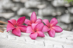 Roze bloemen Plumeria Stock Foto