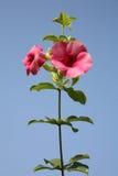Roze bloemen/roze bloemen in de zomer Stock Fotografie