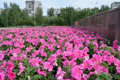Roze bloemen in stadsvierkant royalty-vrije stock afbeeldingen