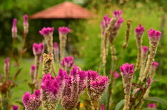 Roze Bloemen in Tuin stock afbeelding