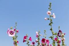 roze bloemen in tuin Royalty-vrije Stock Afbeelding