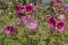 roze bloemen in tuin Royalty-vrije Stock Foto