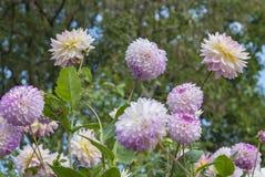 roze bloemen in tuin Royalty-vrije Stock Fotografie