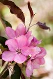 Roze bloemen van appel stock afbeeldingen