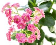 Roze bloemen van Kalanchoe-installatie met groene geïsoleerde bladeren Royalty-vrije Stock Foto