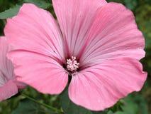 Roze bloemen van Lavatera-trimestrisinstallatie stock foto's