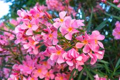 Roze bloemen van oleander stock afbeeldingen