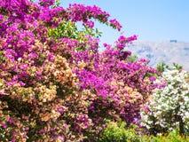 Roze bloemen van oleander in Sicilië Stock Afbeeldingen