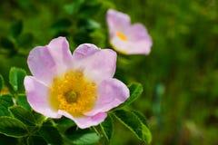 Roze bloemen van rozebottel Zachte nadruk Stock Foto