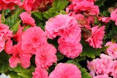 Roze bloemen in volledige bloei royalty-vrije stock afbeeldingen