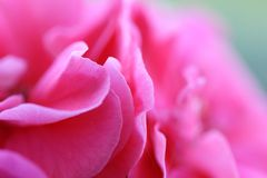 Roze bloemenachtergrond _2 Royalty-vrije Stock Foto