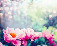 Roze bloemenachtergrond _1 Verbazende mening van roze pioenen die in tuin of park, openluchtaard bloeien Stock Fotografie