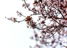 Roze bloemenbloesem in de lente stock afbeeldingen