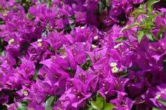 Roze bloemenbougainvillea Stock Foto
