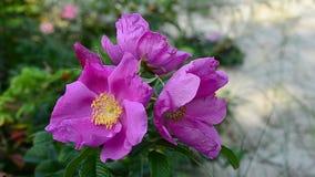 Roze bloemenheupen die in de wind slingeren stock footage