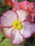 Roze bloemmacro Royalty-vrije Stock Afbeeldingen